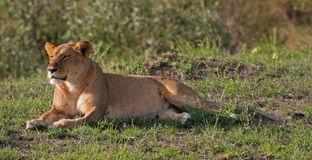 Lioness on the Masai Mara. A lionness resting in the evening Sun on the Masai Mara in Kenya Stock Photos