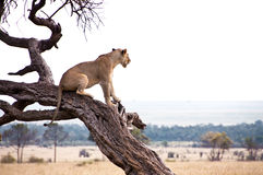 Lioness in the Masai Mara. A lioness looking out over the Masai Mara (Kenya) from her perch on a tree Stock Photography