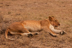 Lioness in the Masai Mara Stock Photo