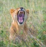 Lioness, masai mara, kenya Royalty Free Stock Image
