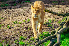 Lioness on Meadow Stock Image