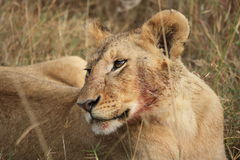 Lioness after meal Stock Images