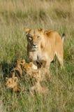 Lioness med 4 gröngölingar Royaltyfri Bild
