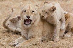 Lioness med gröngölingar Fotografering för Bildbyråer