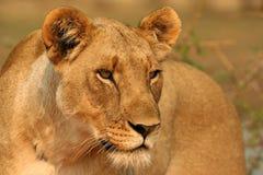 Lioness messo a fuoco Immagini Stock Libere da Diritti