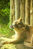 Lioness in mid yawn exposing canine teeth while lying on grass royalty free stock image