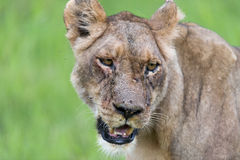 A lioness in the morning (portrait) Stock Image