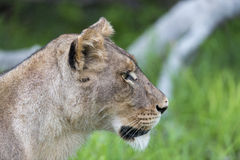 A lioness in the morning (side view). There were 4 lions ( Mother with three sons) who had managed to kill a wildebeest Royalty Free Stock Photos
