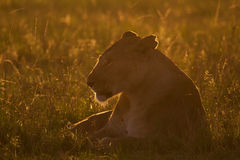 Lioness in morning sun Royalty Free Stock Photo