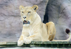 Lioness mouth open Stock Photo