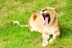 Lioness With Mouth Wide Open. Large Lioness In A Lazy Pose Shoot In A Zoological Garden Royalty Free Stock Image
