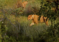 Lioness on the move Stock Photo