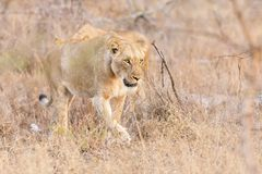 Lioness move in brown grass in afternoon to a kill. Lioness move in brown grass in late afternoon to a kill Stock Images