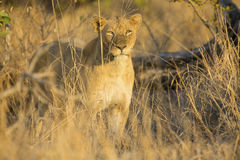 Lioness move in brown grass to kill. Lioness move in brown grass to a kill Royalty Free Stock Photos