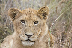Lioness move in brown grass to kill. Lioness move in brown grass to a kill Stock Images