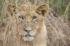 Lioness move in brown grass to kill. Lioness move in brown grass to a kill Stock Photos