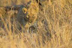 Lioness move in brown grass to kill. Lioness move in brown grass to a kill Royalty Free Stock Photo