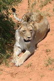 Lioness, Namibia, Africa Royalty Free Stock Image