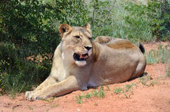 Lioness, Namibia, Africa Stock Photography