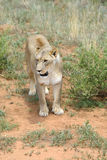Lioness, Namibia, Africa Stock Photo
