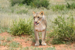 Lioness, Namibia, Africa Stock Photos