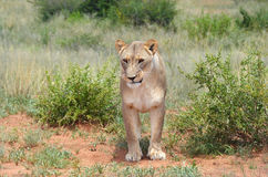 Lioness, Namibia, Africa Royalty Free Stock Photography