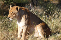 Lioness - Namibia. Lioness in the Wild - Namibia Stock Image
