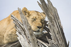 Lioness nap Royalty Free Stock Photos