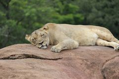 Lioness napping on a brown rock. During a warm summer afternoon. She was at an animal park in Florida Royalty Free Stock Photo