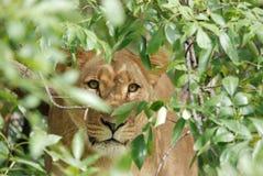 Lioness nascondentesi Immagini Stock