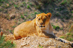 Lioness, nature, animal, park, safari, Taigan, sands, predator, predatory animal. Stock Photo