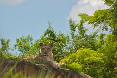 Lioness in Nature Royalty Free Stock Photo