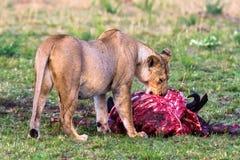 Lioness near the prey. Masai Mara Royalty Free Stock Photography