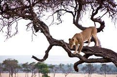 Lioness nel Masai Mara Fotografie Stock