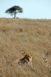 Lioness nel selvaggio Fotografia Stock Libera da Diritti