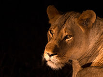 Lioness night queen. This image was taken on a night game drive of a lioness that turned and looked at us as we approached Stock Images