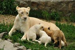Lioness nurse. White african lioness nursing her cubs Stock Photos
