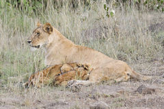 Lioness nursing her cubs Stock Images