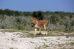 Lioness. In the Nxai Pan Nationalpark Royalty Free Stock Image