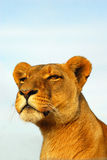 Lioness observant  Royalty Free Stock Photography