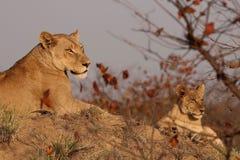 Lioness och gröngöling royaltyfria foton