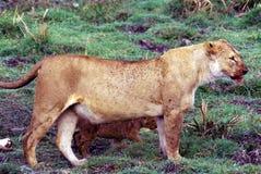 Lioness och gröngöling royaltyfri foto