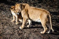 Lioness och gröngöling Arkivbilder