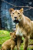 Lioness och henne gröngöling Arkivfoton