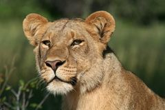Lioness of the Okavango Royalty Free Stock Photos