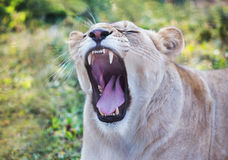 Lioness with an open mouth Stock Photos