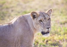 Lioness with an open mouth Stock Image