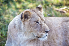 Lioness with an open mouth Royalty Free Stock Image
