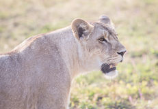 Lioness with an open mouth Stock Images