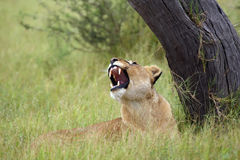 Lioness with open mouth. The Transvaal lion Panthera leo krugeri also known as the Southeast African lion .Lioness lying under a tree with open mouth stock images